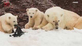 Sad Photos Of Two Baby Polar Bears Playing With Plastic on Arctic Island