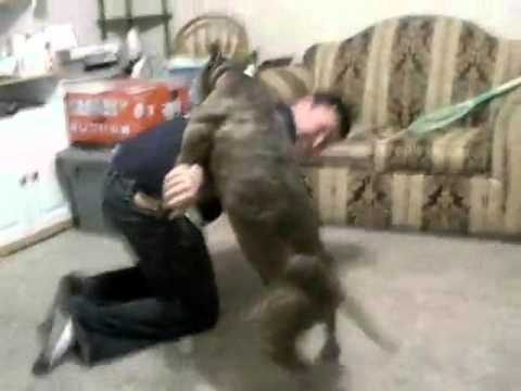 pitbull attacks owner steroids