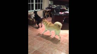 Doberman, Husky Mix And Toy Poodle Mix Dogs Playing Chase
