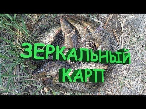 Как поймать зеркального карпа для начинающих Рыбалка на Кубани