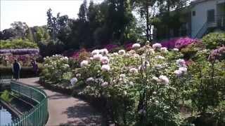 東松山市 箭弓稲荷神社ぼたん園 を、手持ちのスマホで撮りました。第二...