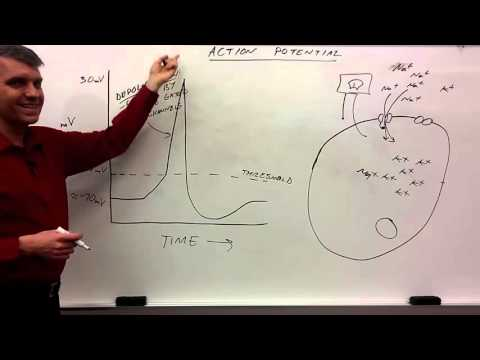 action potential for beginners