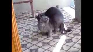 кошки трахаются