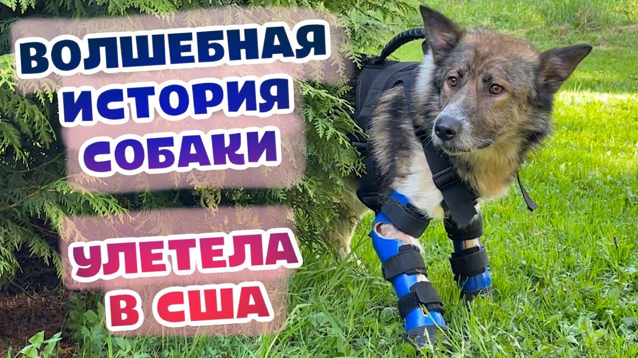 Бездомный пес на протезах улетел в США. Счастливая история ОТ и ДО.