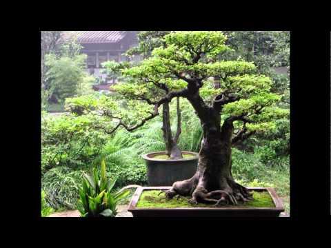 Дерево Бонсай своими руками за несколько часов!!!