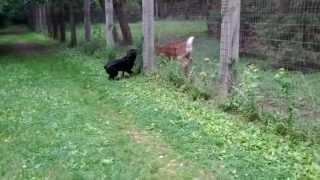 Rottweiler vs Deer