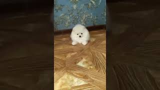 Aromat the Pomeranian puppy for sale by Euro Puppy 1