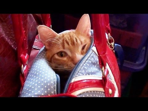 Thumbnail for Cat Video Puss in Purse