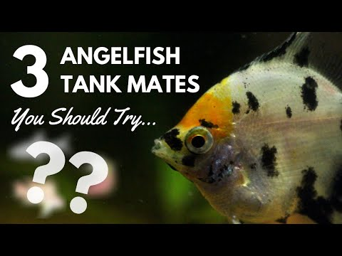 3 Very Popular Angelfish Tank Mates You Need To Try