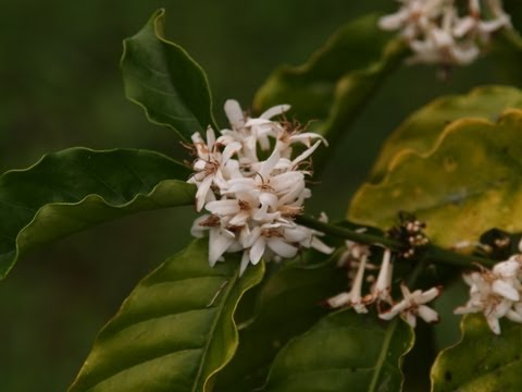 Fiji Spice Farm grows organic Vanilla, Cinnamon, Coffee & Ginger