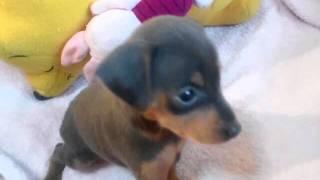 http://minipinscher.breeders.jp/