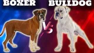 Boxer VS American BulldogComparison