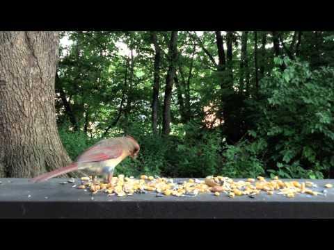 Birds of North Kansas City, Missouri