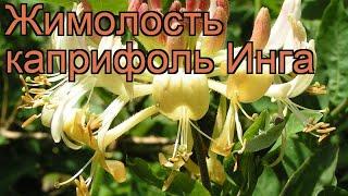 Жимолость каприфоль Инга (lonicera caprifolium) 🌿 Инга обзор: как сажать, саженцы жимолости Инга