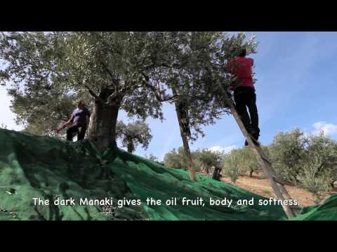 Harvest of the olives at Hermes, Greece