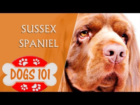 dogs-101---sussex-spaniel---top-dog-facts-about-the-sussex-spaniel