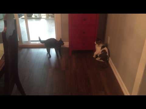 Angry Cat scare hissing paw slap