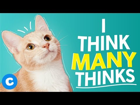 10 Things Your American Shorthair Is Thinking Right Now | Chewy