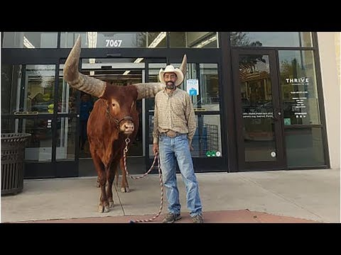 South Florida's First News w Jimmy Cefalo - Man Brings Massive Steer Into PetCo to test Leashed Pet Policy