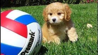 'kali' - Female Cavapoo Designer Puppy - Cavalier X Toy Poodle
