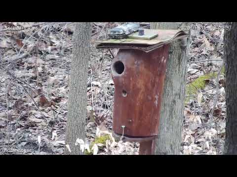Screech Owls Live Stream PTZ Live Stream from YouTube · Duration:  4 hours 16 minutes 40 seconds
