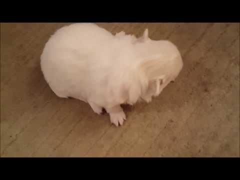 German Spitz (Klein) Puppies (3 weeks old) Learn To WALK