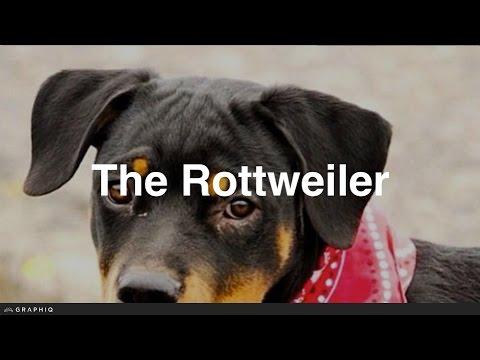 Rottweiler - Dog Profile from PetBreeds.com