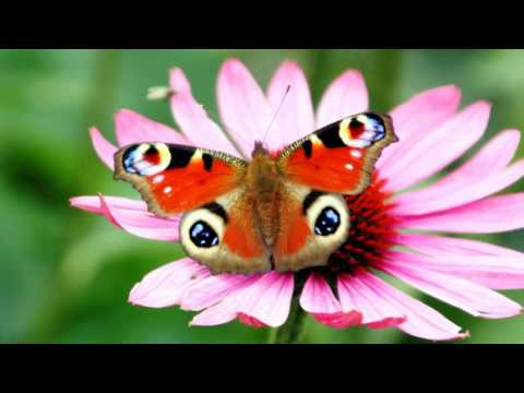 Butterflies and flowers (HD1080p)