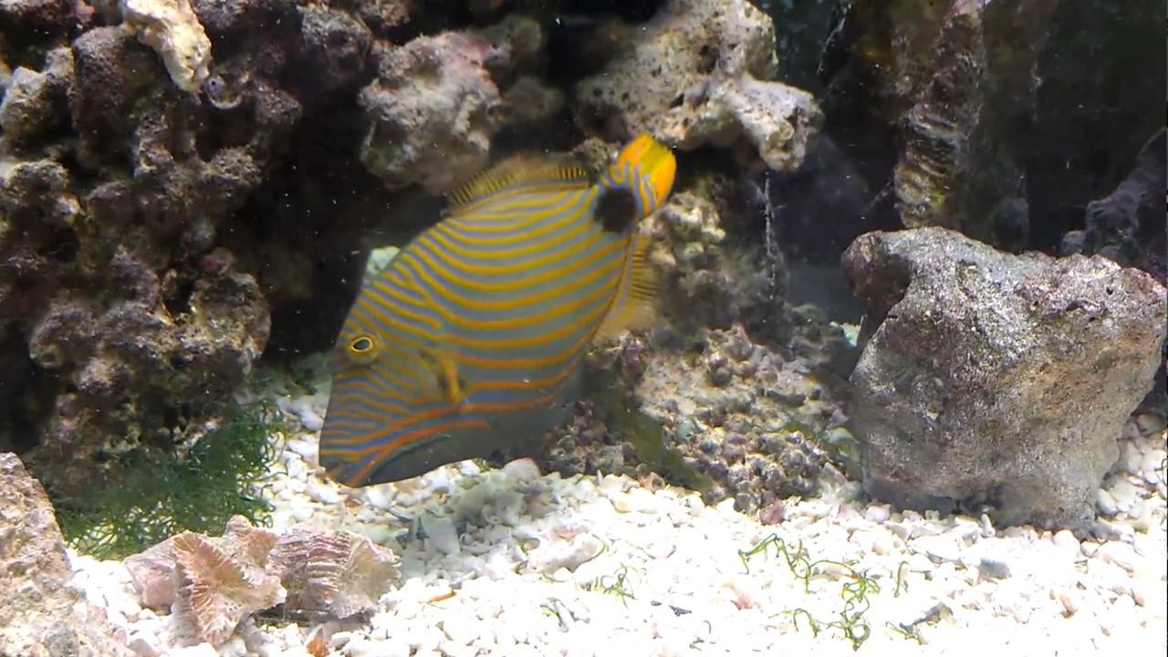 orange lined triggerfish undulate triggerfish balistapus