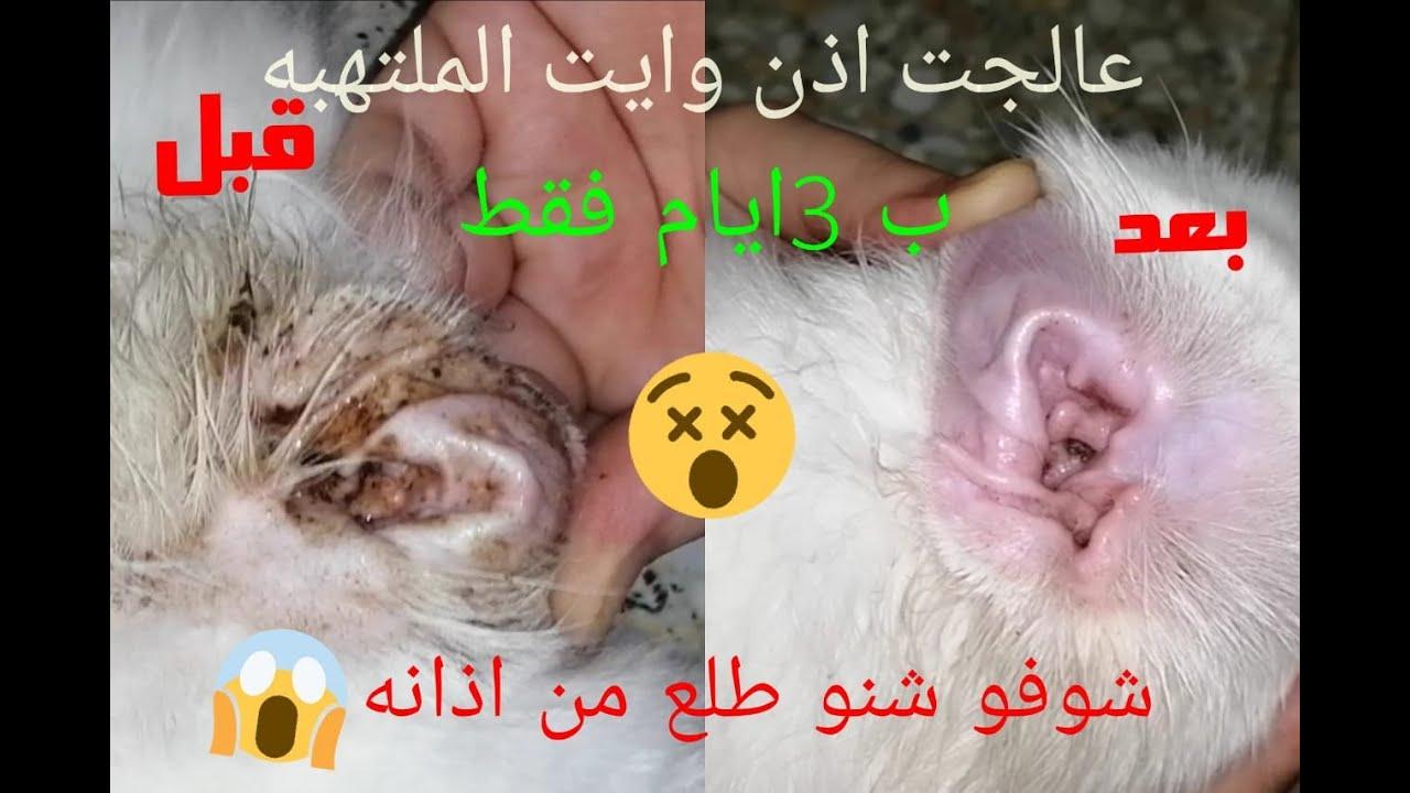 علاج التهاب اذن القطط وازالة الاوساخ ب 3ايام فقط Youtube