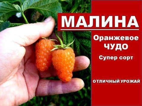 Малина выращивание и уход.Крупные и вкусный Сорт Ремонтантной малины Оранжевое Чудо для Сибири.Отзыв | ремонтантная | выращивание | урожайный | выращиван | крупная | урожай | сибири | огород | малина | сорта