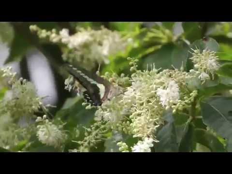 アオスジアゲハとリョウブの花