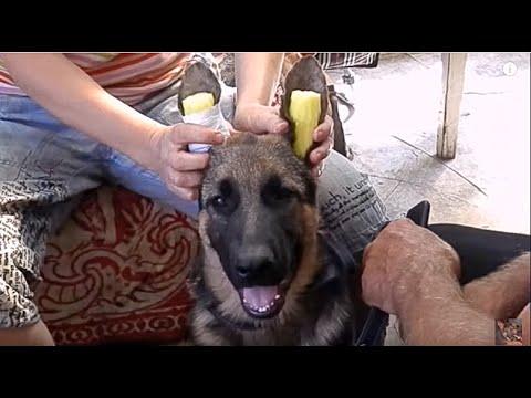 КАК ПОСТАВИТЬ УШИ ЩЕНКУ немецкой овчарки.Sticking German Shepherd puppy ears.Одесса.