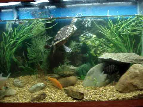 Turtle and pacu 55 gallon fish tank youtube for Fish tank turtles