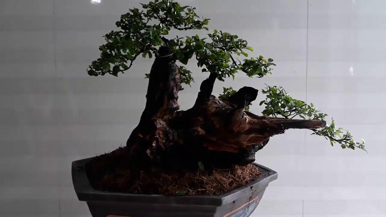 Cây Trân Châu - Canh châu sang chậu