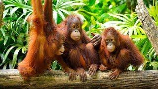 Приколы с обезьянами - Смешные обезьяны!