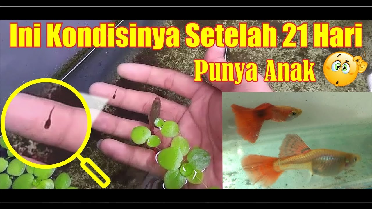 Kolam Ikan Guppy Ditinggalin Updates Youtube