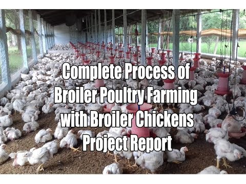 Complete Process Of Broiler Poultry Farming With Broiler Chickens Project Report