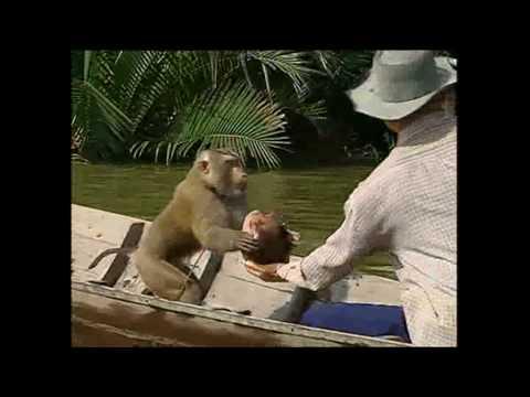 צפו בקוף המאומן לאסוף קוקוסים