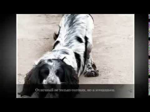Маленькие породы собак РУССКИЙ СПАНИЕЛЬ