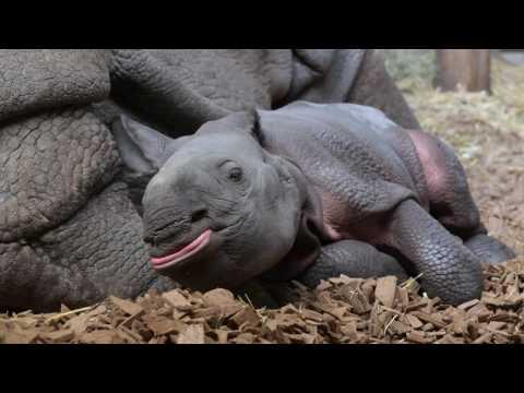 Baby Indian Rhinoceros at Basel Zoo
