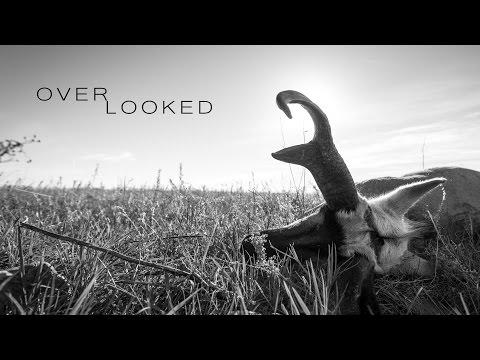 OVERLOOKED - Antelope Hunting Eastern Montana