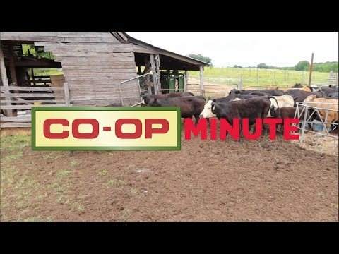 Co-op Minute: Fall Cattle Management Practices