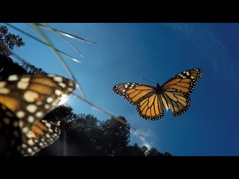 Amazing Monarch Butterflies In Mexico