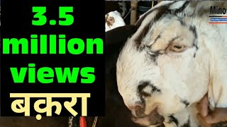 Retail goat price in delhi  | कार से महंगा बकरा