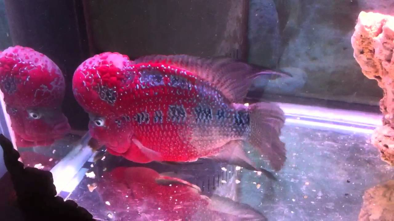 Red King Kamfa Flowerhorn - For Sale