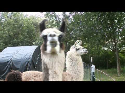 Llama Alarm Call