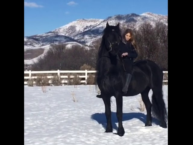 Dashing through the snow, with a Friesian! Navarre and Helena love to have fun!