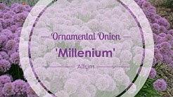 Millenium Ornamental Onion | Walters Gardens