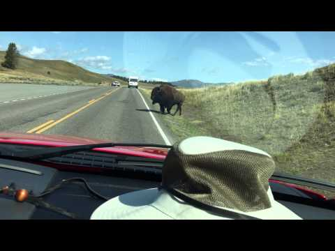 Bison running across the road at Yellowstone park Wyoming